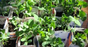 Healthy, environmental fundraiser: Heirloom peas for sale to raise money for the...